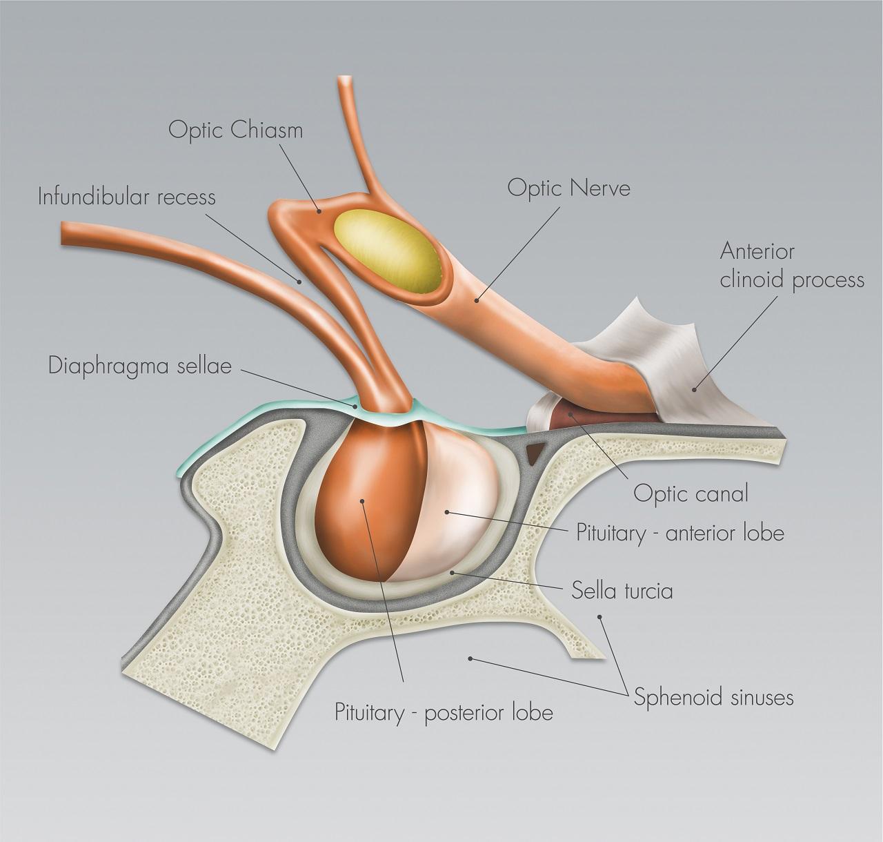 Optic Nerves And Chiasm